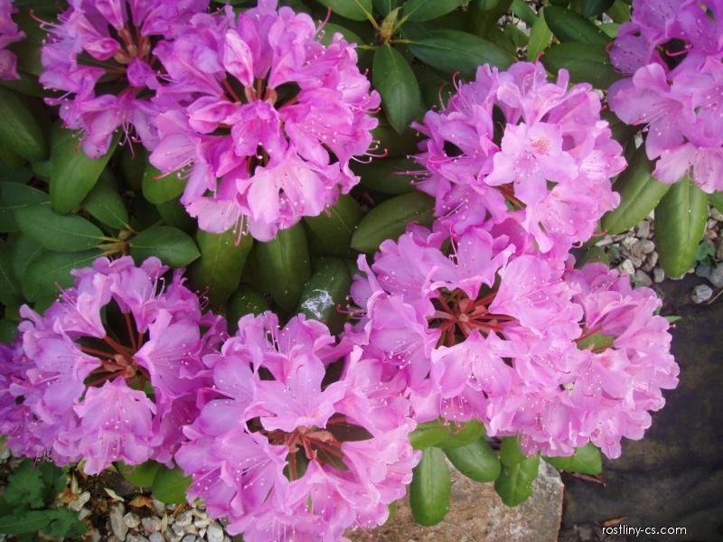 Pěnišník (Rododendron)