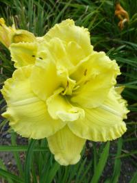 Denivka 'Ruffled Double Frills' (Hemerocallis hybrida)