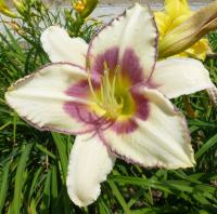 Denivka 'Chicago Picotee Memories' (Hemerocallis hybrida)