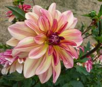 Jiřina 'Happy Butterfly' (Dahlia)