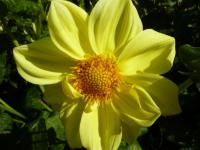 Jiřina 'Fellbacher Gold' (Dahlia)