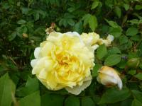 Růže 'Yellow Romantica' (Rosa)