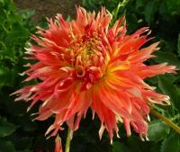 Jiřina 'Fired Up' (Dahlia)