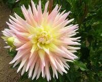 Jiřina 'Clearview Louise' (Dahlia)