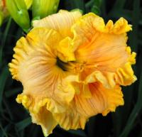 Denivka Bonnie Holley (Hemerocallis hybrida)