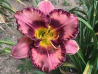 Denivka Mountain Wildflower (Hemerocallis hybrida)