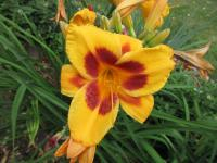 Denivka Black Eyed Susan (Hemerocallis hybrida)
