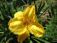 Denivka Glittering Treasure (Hemerocallis hybrida)