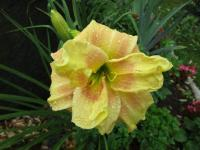 Denivka Double Awe (Hemerocallis hybrida)
