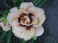 Denivka My Friend Wayne (Hemerocallis hybrida)