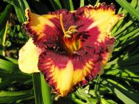 Denivka Mystical Mirror (Hemerocallis hybrida)